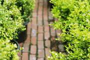 A brick pathway lined with boxwoods