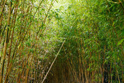A pathway surrounded by bamboo trees