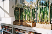 Wooden boxes filled with flowering paperwhite narcissus