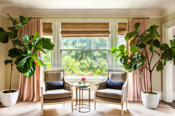Drapery - Fiddle-leaf fig trees on either side of a pair of chairs