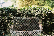 An iron bench among the ivy
