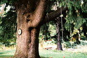 A swing and a ladder suspended from a tree