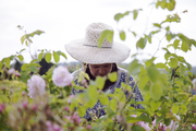 A worker harvesting May roses