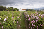 Rows of May roses on Joseph Mul's flower farm outside Grasse, France