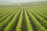 Rows of grapes in the vineyards