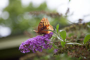 A butterfly rests on a purple flower