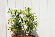Dominique Browning uses eco-friendly planters that skip the plastic and are instead ready to plant as is.