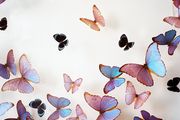 Butterflies suspended in an acrylic box