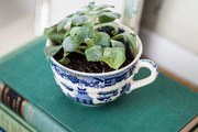 A potted succulent in a vintage teacup
