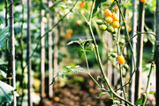Tomatoes growing in a garden
