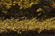 Grape vines in the setting sun