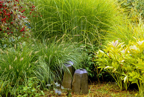 Miscanthus Photos (1 of 4) []