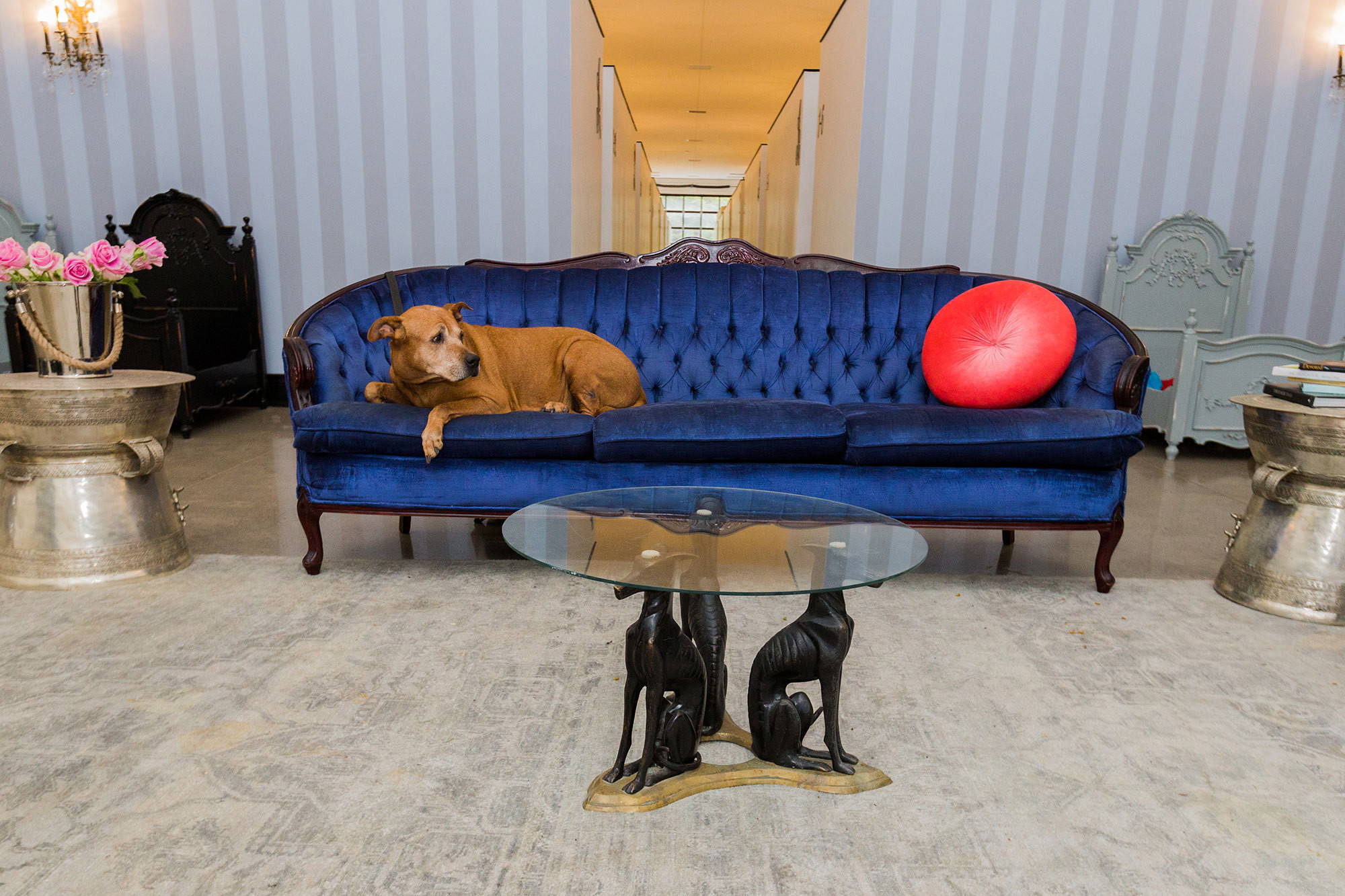 Lady,a senior dog rescued from euthanasia in Miami, lounges on a blue velvet settee at the Dog Talessanctuaryin King City, Ontario. Sheis currently adoption pending. Photography by Kayla Rocca.