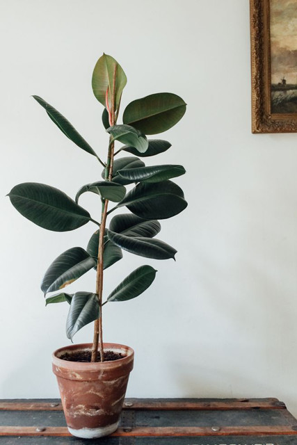Rubber Plant Design People Predict 2017 S Biggest Trends