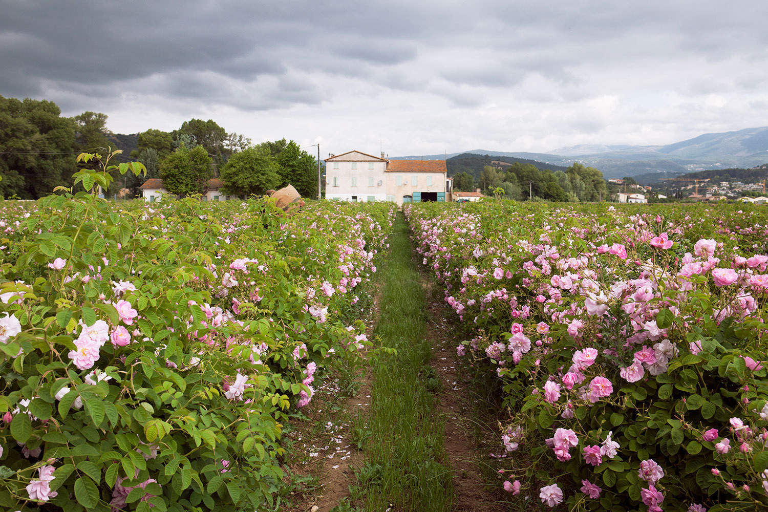 Fields of May roses at the Mul family's generations-old flower farm, in Pégomas, France.