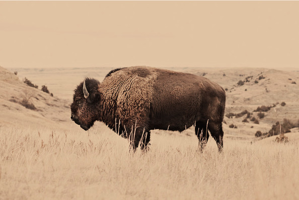 Buffalo Print by Troy Moth